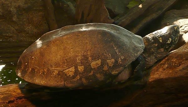 Schildkröte im Freilaufgehege