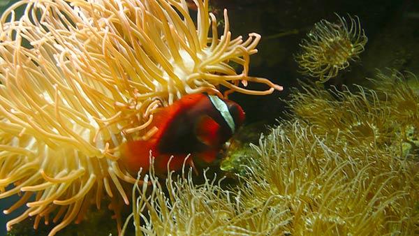 Clownfisch und Seeanemonen